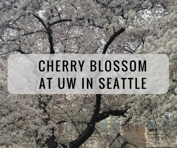 Seattle cherry blossom