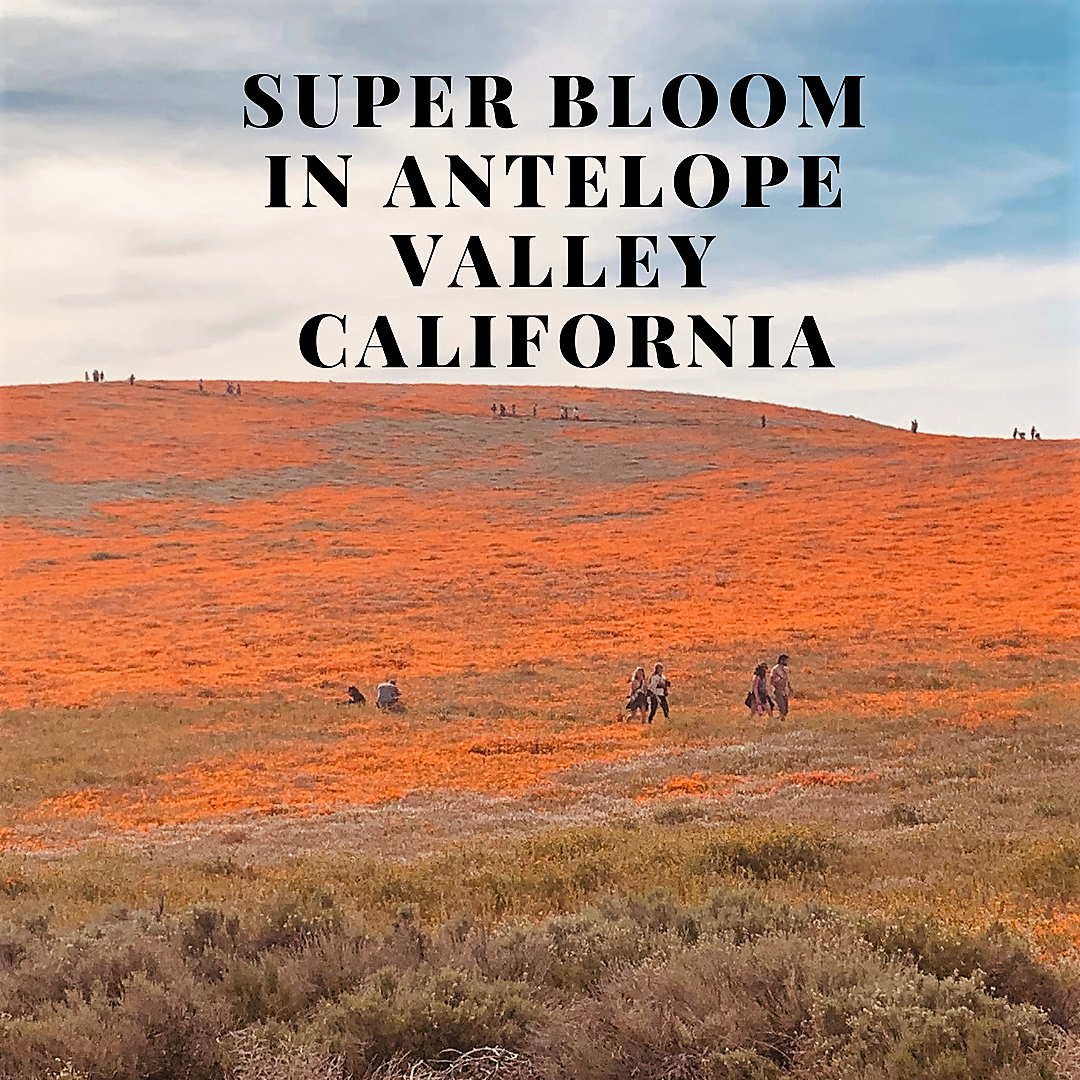 Super bloom in Antelope valley California