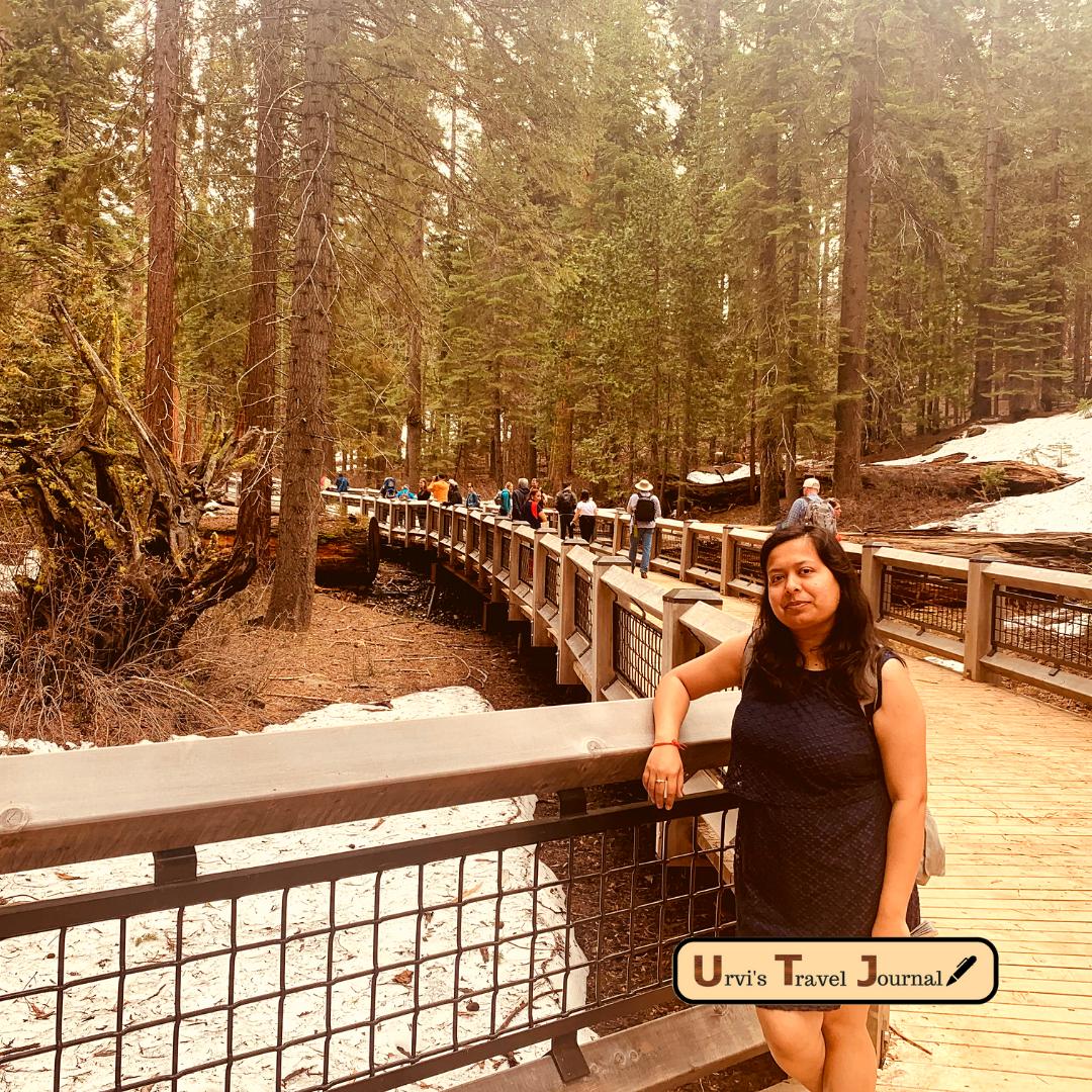 Mariposa Grove Giant sequoia in Yosemite National Park